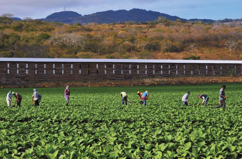 Workers tend the fields of a Fernandez farm in Estelí, Nicaragua. The Criollo '98 tobacco in the ground is still young, but quickly grows to full maturity.
