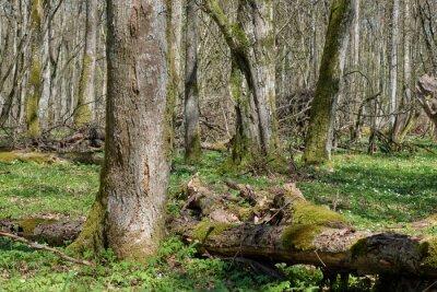 These forests are found in. Linden Tree Deciduous Forest In Spring Vaggdekor Gammalt Trad Tra Vildmark Myloview Se