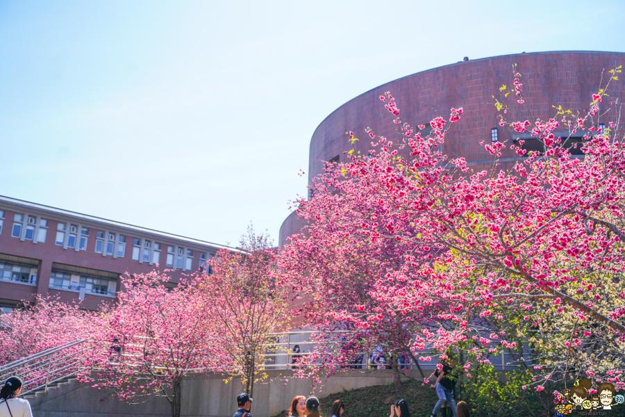爆炸盛開之櫻花祭,暨南大學賞櫻勝地 x 100元停車暢遊一整天、野餐放電