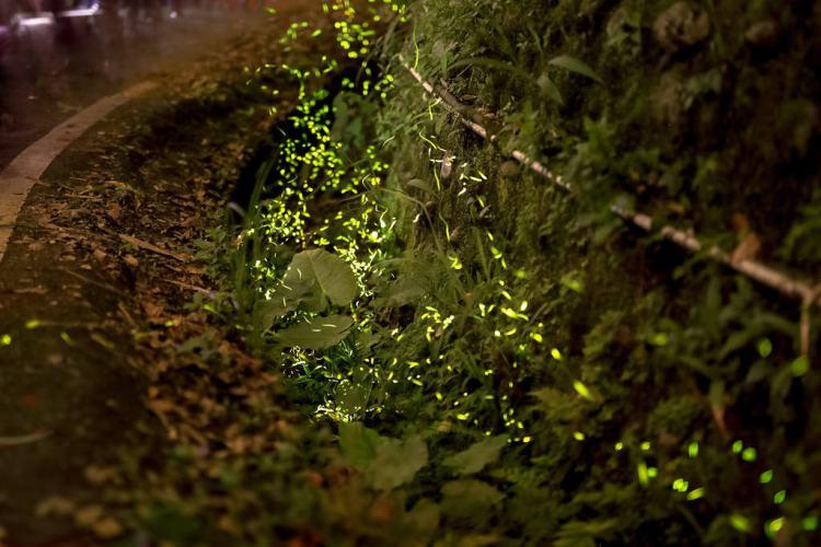 新竹景點|內灣螢火蟲交通、賞螢時間、拍攝教學