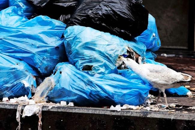 Meeuwen vinden het een koud kunstje om plastic zakken stuk te krijgen en naar etenswaren te zoeken. Ook de zakken met plastic afval zijn een doelwit.