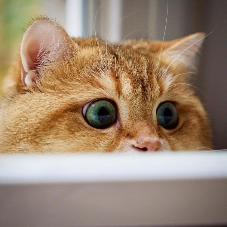 Кот, который как две капли воды похожий на «кота в сапогах ...
