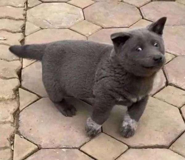 Пользователей Сети покорил щенок похожий на кота. ФОТО