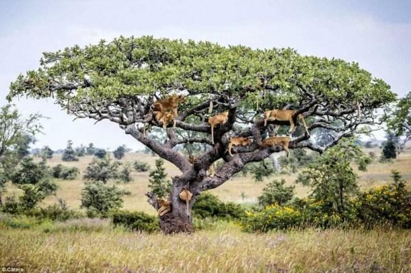 Львы прячутся на дереве. ФОТО