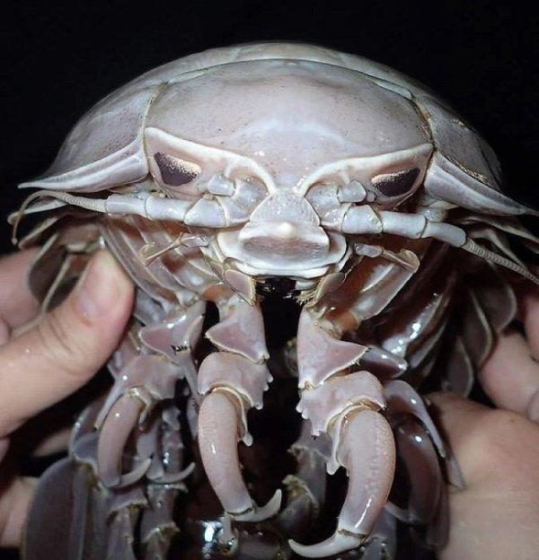 Как две капли: найден огромный морской таракан ...