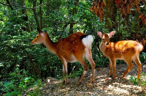 【屋久島】有小鹿斑比出沒的西部林道 登錄為世界遺產的海岸線