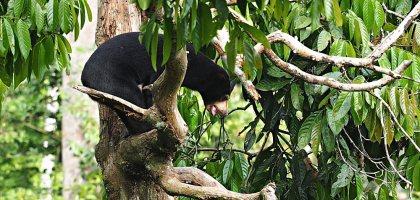 馬來西亞、沙巴 山打根馬來熊保育中心 Bornean Sun Bear Conservation Centre