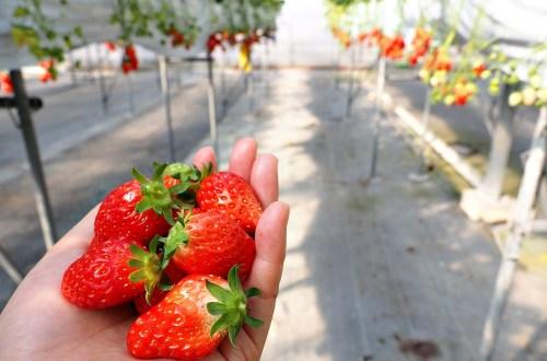 愛知、半田|澤田農園.現採現吃日本採草莓吃到飽體驗
