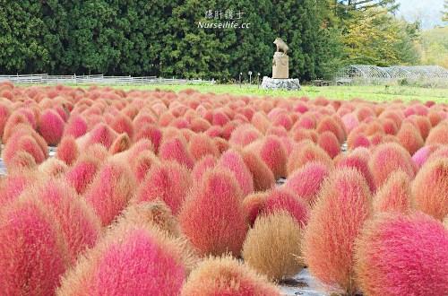 季節限定的粉紅掃帚草.是誰丟了滿地的毛線球!猪苗代ハーブ園