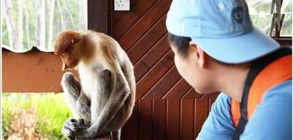 【沙巴山打根】別處看不到,錯過可惜!!拉卜灣長鼻猴保育區Labuk Bay