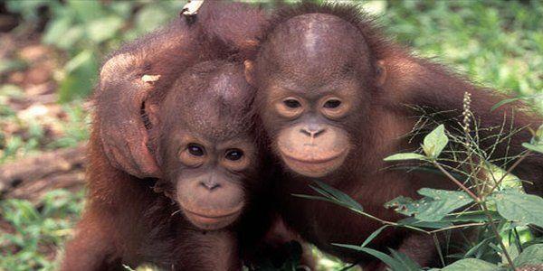 Orangutan (foto: alamendah.wordpress.com)