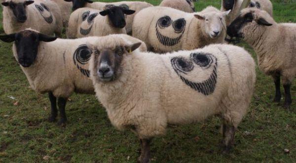 Domba yang bertato (Foto: Daily Mail)