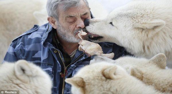 Foto : Freud dan kawanan serigala kutub (reuters)