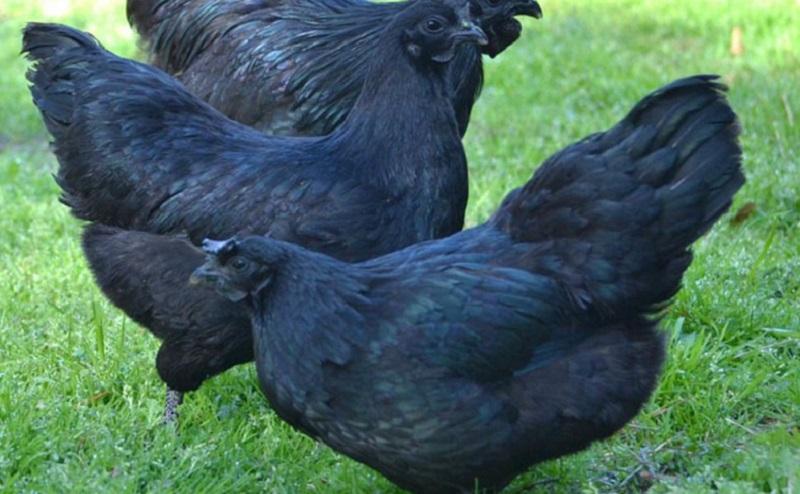 ayam cemani hens black chickens