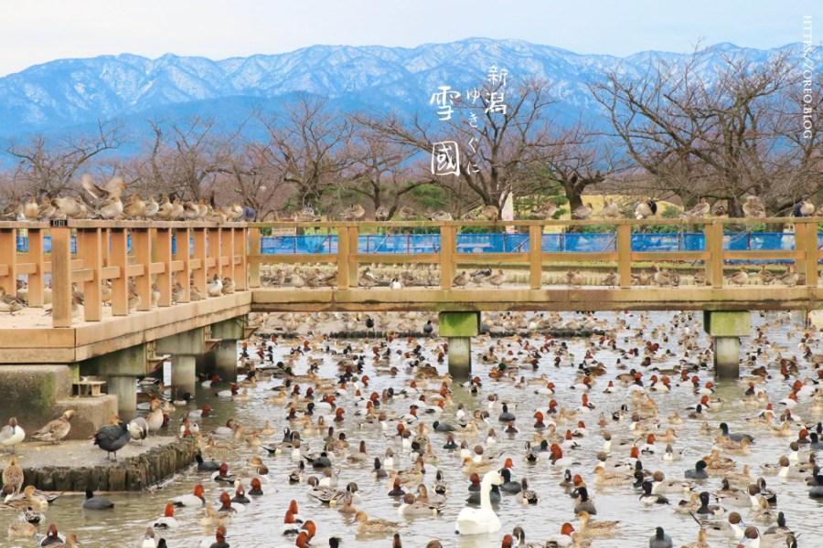 新潟景點│阿賀野瓢湖~白鳥過冬的雪景天鵝湖~好吃天鵝布丁~10到3月最佳賞鳥期~