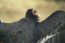 Condors - chez Pixabay