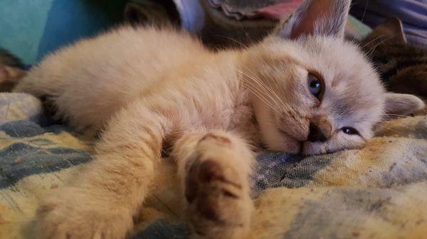 Neige, chaton mâle type seal point de 2 mois, à l'adoption ...