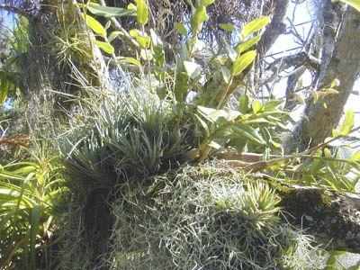 Ananas sauvage, orchidées, tillandsia et bromeliacées, mousses et fougère sur un érable