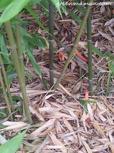 Champignon pieuvre rouge d'Australie vu à Disney Land Paris