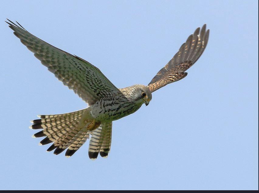 Femelle en vol sur la 1ère photo Faucon crécerelle (Falco tinnunculus) photos Claudie Stenger