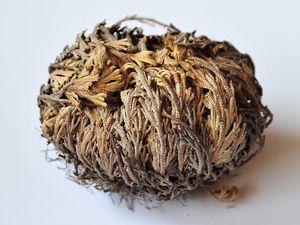 Selaginelle lepidophylla sèche et déployée