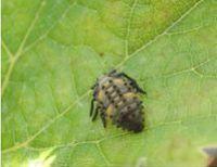 coccinelle-larve.jpg