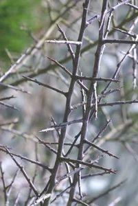 Epine-noire1.jpg