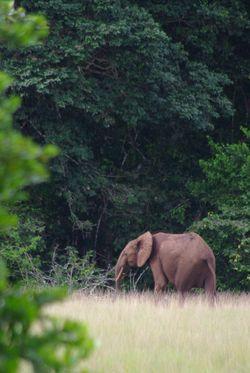Enamino - Elephant