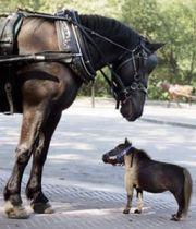 PlusPetit cheval