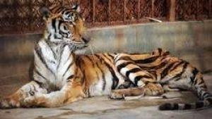 en-chine-des-milliers-de-tigres-sont-eleves-en-captivite-po.jpg