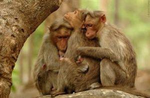 brt monkeys hugging 235