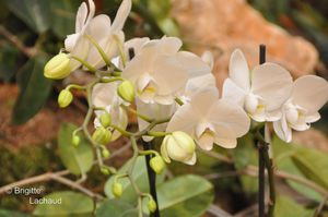 Fete-du-citron18022012-164--c-Brigitte-Lachaud-.JPG