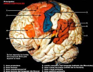 areas-corticales.jpg