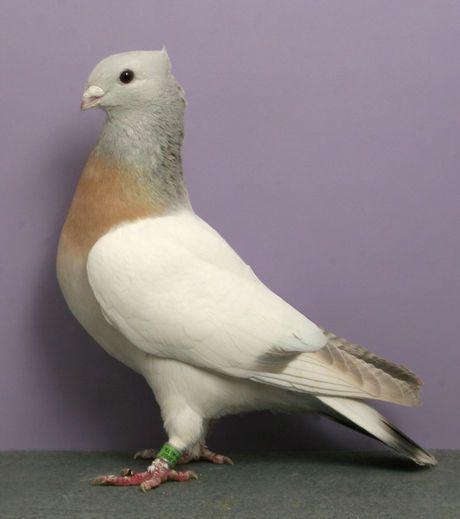lucerne-gold-collar-ch-oc332-bob-pilchar-national-pigeon-as.jpg