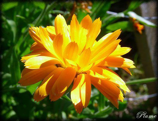fleurjaune.jpg