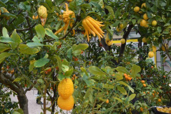 Fete-du-citron-150214-050.JPG