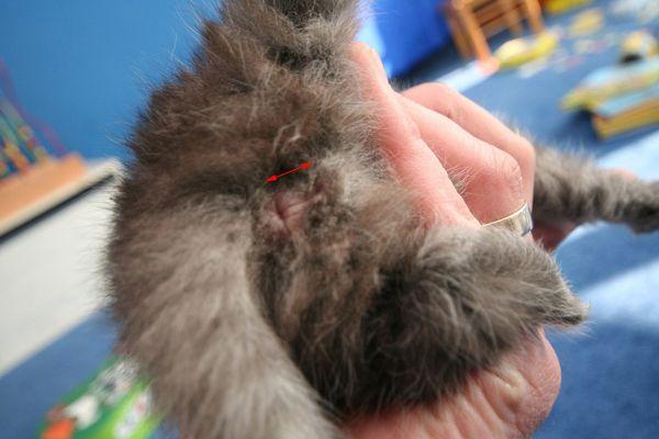 Déterminer le sexe d'un chaton - Chatterie du Val d ...