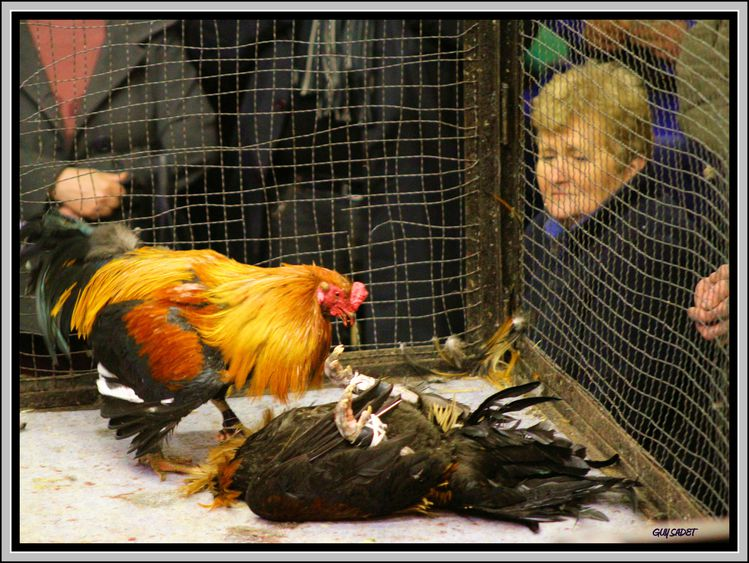 France: Cockfighting – The Name of Tradition – Cockfighting From All