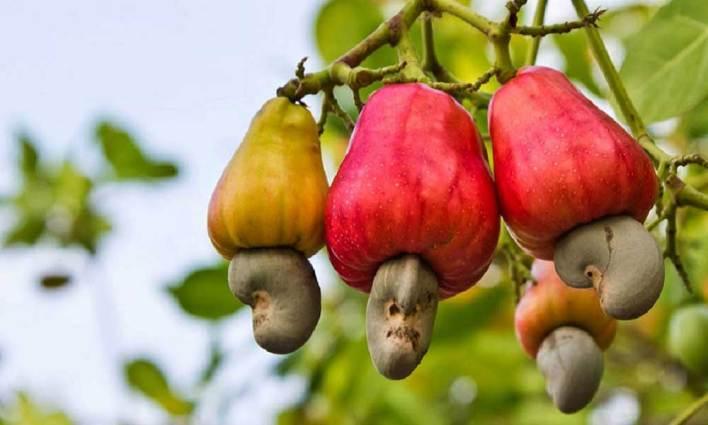 Aslında Meyvesinin Sapı Olan Çerez!