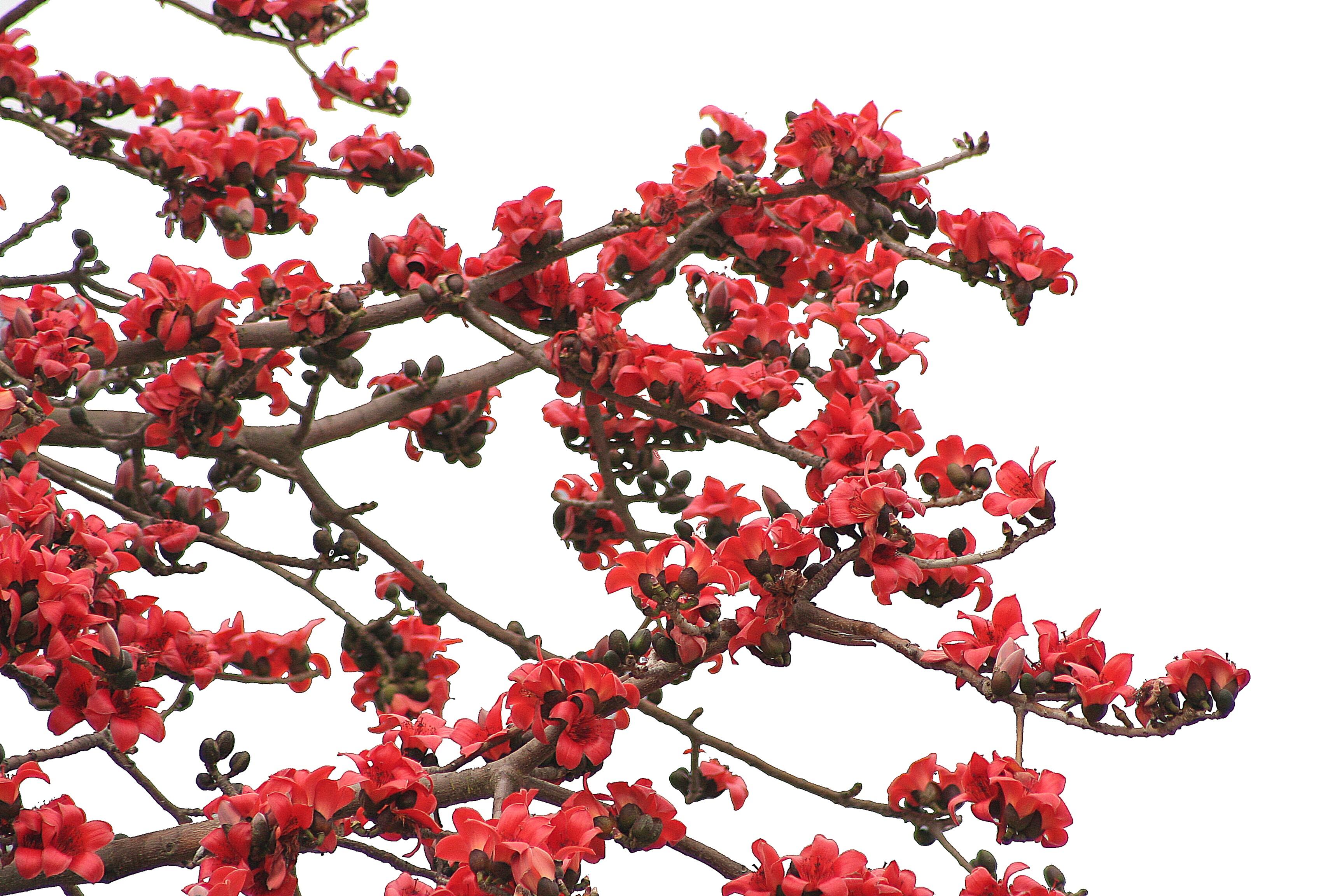 【木棉花攝影圖片】珠海生態攝影_caojianming_太平洋電腦網攝影部落