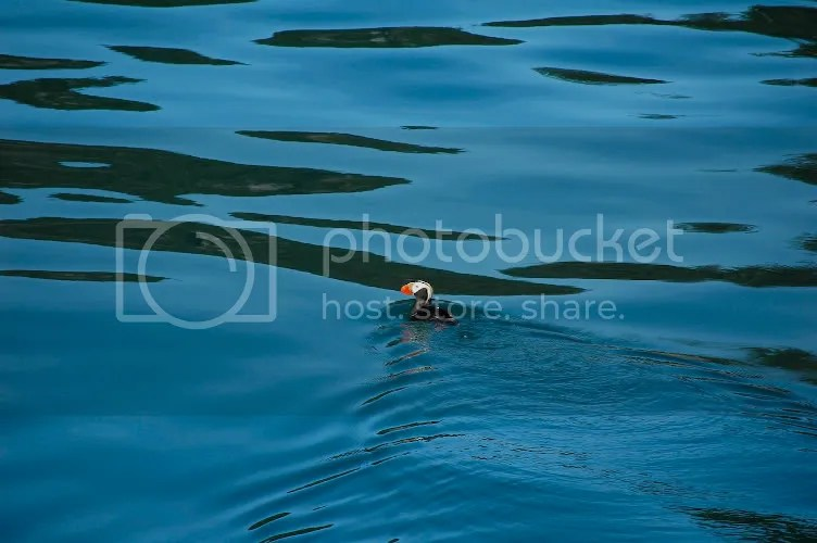 pics of tufted puffin in the Kenai Peninsula Alaska by Arun Shanbhag