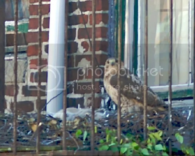 Boston, red-tailed hawk, Chicks