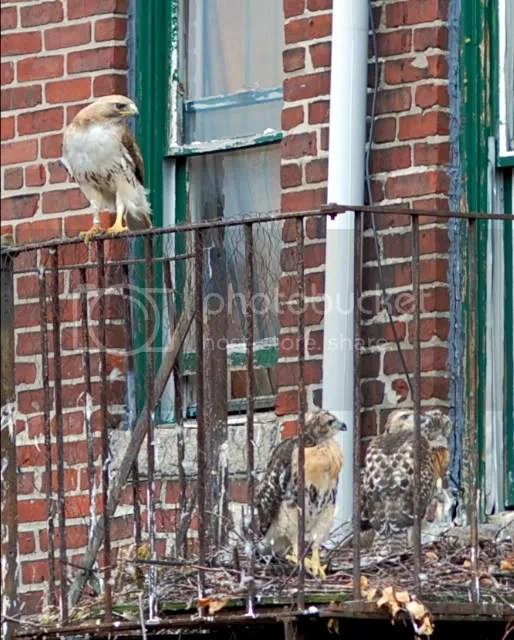 Boston Red-tailed hawk, Male Boston