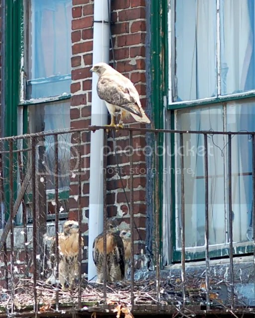 Boston Red-tailed hawk, Boston