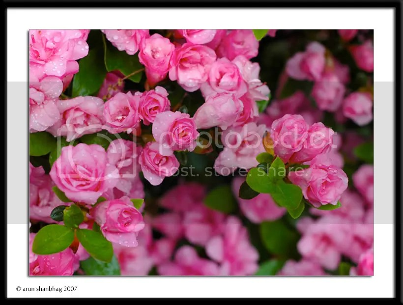 Azalea blooms pics by Arun Shanbhag