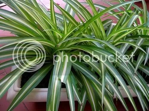 Baños Quimicos Elegantes:Otra increíble planta que crece incluso sin cuidados, las cintas son