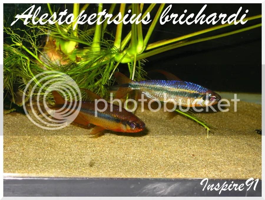 Alestopetersiusbrichardi