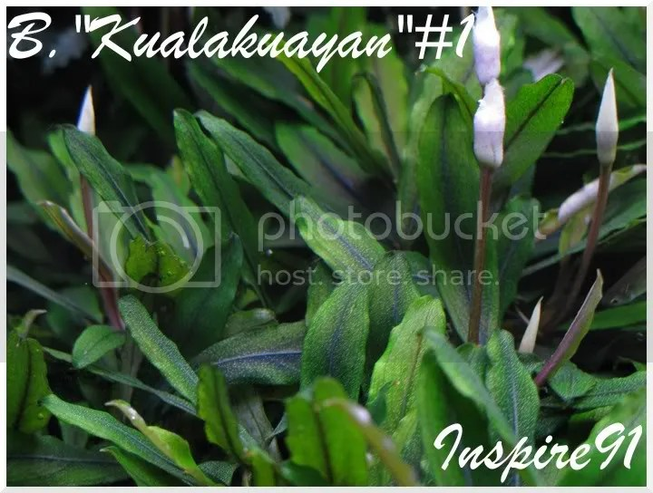 B.Kualakuayan#1
