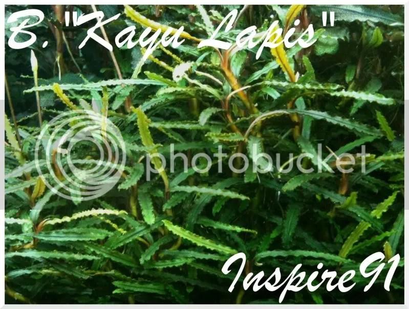 B.Kayu Lapis2
