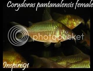 Cory pantanalensis female